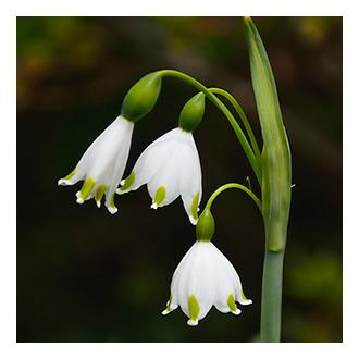snowdrop icon image