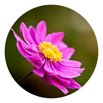 windflower icon image