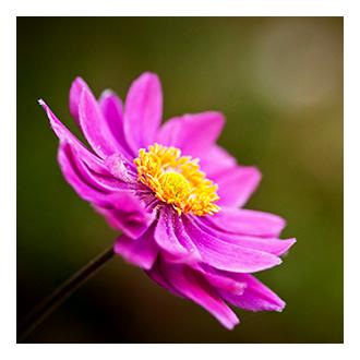 windflower icon image